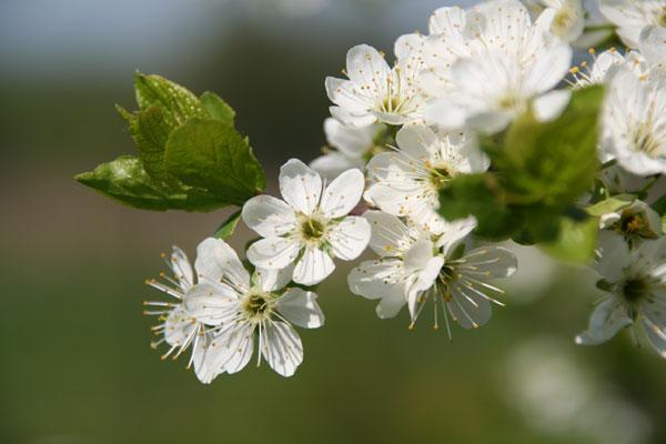 Тёрн (Prunus spinosa L.) – дикий вид сливы.