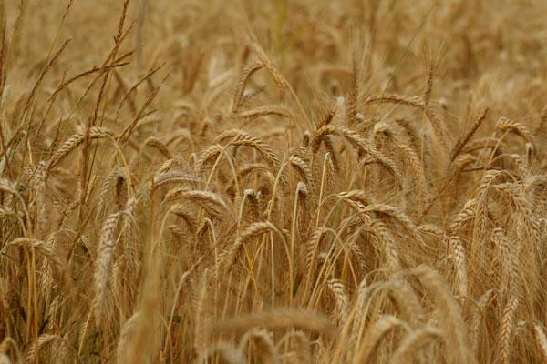 урожай пшеницы на окраине деревни